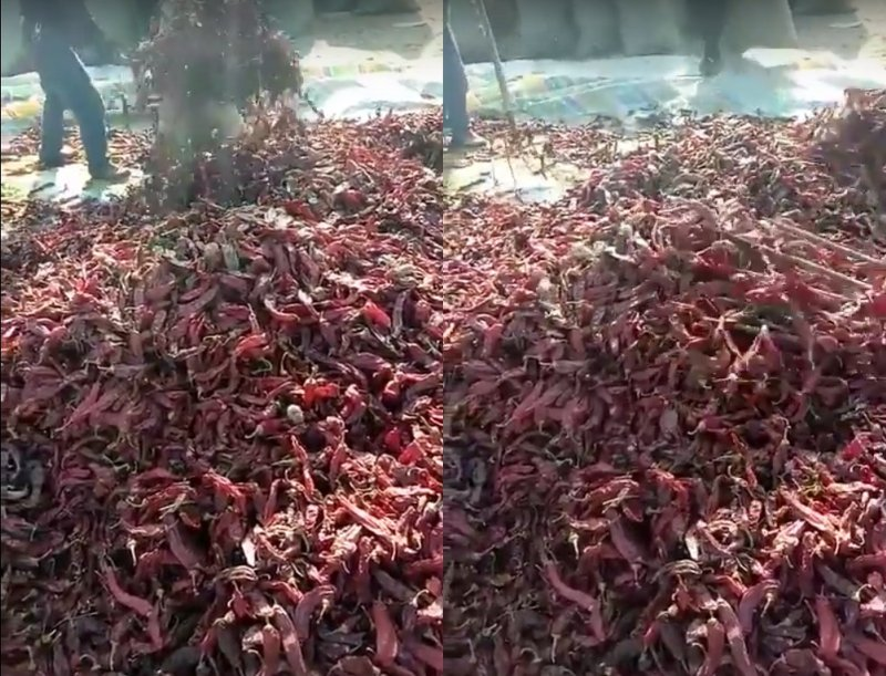 Grabación de chiles secos se vuelve viral al estar infestado de ratones. #VIDEO